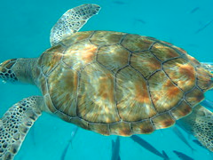 PA160104 (iainjmcd) Tags: bridgetown barbados october 2018 calabazasailingcruises seaturtle