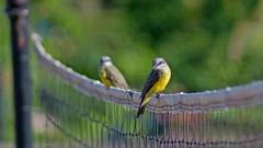 flycatchers hangin' (Bernal Saborio G. (berkuspic)) Tags: bird birdwatching birdwatch tyrannidae flycatcher bokeh focus manuallens manualfocus depthoffield sonyalpha