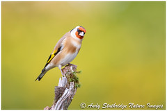 Autumn Gold (www.andystuthridgenatureimages.co.uk) Tags: finch goldfinch fringillidae uk devon perch branch perched pose looking autumn leaves backdrop