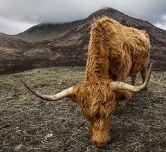 The Hulk (SkyeWeasel) Tags: scotland skye landscape animal cow coo highlandcoo horns