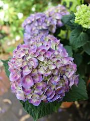 2018 Sydney: Hydrangea (dominotic) Tags: 2018 flower hydrangea pink purple green nature plant garden sydney australia