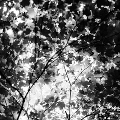 Up Through Trees 054 (noahbw) Tags: d5000 dof nikon ryersonwoodsforestpreserve abstract blackwhite blackandwhite blur branches bw depthoffield forest leaves light monochrome natural noahbw shadow spring square sunlight trees woods