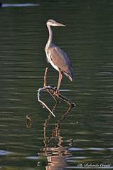Airone cenerino _056jpg (Rolando CRINITI) Tags: aironecenerino uccelli uccello birds ornitologia fiumeentella entella lavagna natura