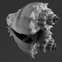 Tiny Conch Shell (arbyreed) Tags: arbyreed macrofriday onthemirror shell seashell reflected reflection close closeup monochrome bw blackandwhite squareformat