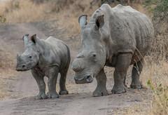 White rhinos (Andy Morffew) Tags: whiterhinos mother calf rhinos southafrica horn poachers inexplore explored andymorffew morffew