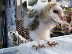 Baby barn owl (billnbenj) Tags: barrow cumbria owl barnowl raptor birdofprey snowyowl
