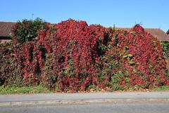 DSC_1896 (PeaTJay) Tags: nikond750 reading lowerearley berkshire gardens outdoors nature flora fauna plants flowers trees shrubs bushes foliage