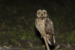 Asio flammeus (LdrGilberto) Tags: coruja do nabal shorteared owl asio flammeus murtosa bird ave nature natureza wild asioflammeus shortearedowl