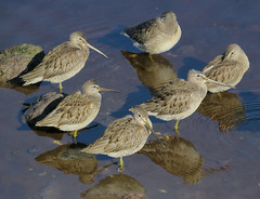 Dowitchers (Shelley Penner) Tags: birds vancouverisland shorebirds dowitchers verylongbills water reflections wading sleeping