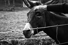 sensibility (Cosentino Aran) Tags: sensibility animal blackandwhite noir heart love nature italy donkey feel magical magic sensaction special