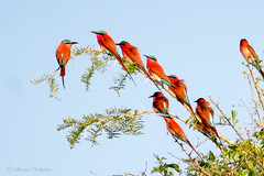 Carmine Bee-eaters (sharon.verkuilen) Tags: carminebeeeater africa zambia luambe sonya7rii