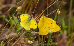 7K8A7586 (rpealit) Tags: scenery wildlife nature weldon brook management area orange sulphur butterfly