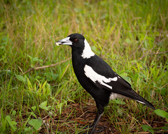 Magpie (beautiful.betty18) Tags: challengeyouwinner cyunanimous