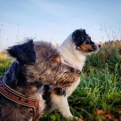 What they see beyond (korwis) Tags: dog dogs pet pets animal animals aussie australianshepherd nature woods autumn