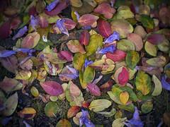 fallen spring (gnarlydog) Tags: australia nature leaves vintagelens colorful flowers adaptedlens manualfocus kodakanastigmat63mmf27