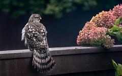 Wet and Mad Hawk (Dotsy McCurly) Tags: hawk big bird raptor nature beautiful treehydrangea pink autumn yard fence nj newjersey nikond750 nikonafsnikkor200500mmf56eedvr
