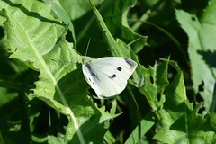 Репница, Pieris rapae, Small White (Oleg Nomad) Tags: репница pierisrapae smallwhite бабочка насекомые чешуекрылые москва butterfly insects moscow flower
