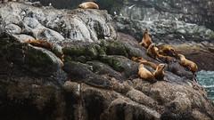 Sea Lions on Sea Lion shaped rocks