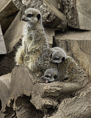 Double Trouble (There and back again) Tags: meerkat zoo tropiquaria somerset young