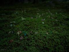 南禅寺の苔 (R_Pepee) Tags: hasselblad hasselbladx1d x1d
