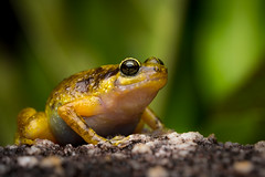 DSC_5629 (RhysSharryArchive) Tags: amphibia amphibian anura australia blackmountainnurseryfrog cooktown cophixalus cophixalussaxatilis frog microhylidae queensland rhyssharry vulnerablespecies wildlife
