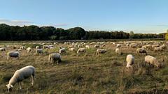 Sheeping Beauties (Johan Moerbeek) Tags: sheeps schapen weiland meadow bergen dinnertime noordholland holland