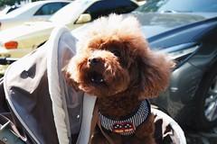The teeth (TAIPEI TAIWAN) (Wan.L) Tags: 犬 プードル リコー 家族 紅貴賓 貴賓 狗 台北 台灣 grii gr view ricoh asia family brown baby sister cute poodle doggy dog puppy taipei taiwan