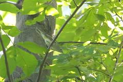 Chestnut-sided Warbler (astro/nature guy) Tags: illinoisbird bird urbanabird buseywoodsbird buseywoods warbler chestnutsidedwarbler