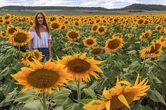 Sunflower Field (Benjamin Berlin) Tags: landscape sunflower vibrant australia queensland flower
