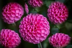 Pink Repeating. (Omygodtom) Tags: flower flickr pink outside natural nature macro bokeh dof d7100 7dwf flora flickriver explorer nice sweet dahlia tamron texture tamron90mm trail pose