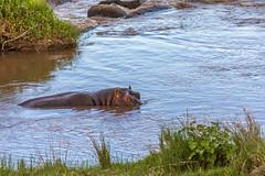 Hippo (jorgen_hog) Tags: serengeti hippo marariver tanzania