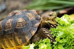 I am eating. (# My Way #) Tags: tortoise sulcata lettuce vegetable eating turtle action tongue