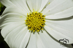 blanco amarillo (NELIDA RICHI FOTOGRAFIA) Tags: white yellow blanco amarillo flor polen petalos pistilos naturaleza jardin fiori flower fleur