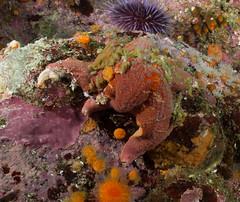 PA140048 Wide.jpg (alwayslaurenj) Tags: greatpinnacle montereycarmel pointlobos seastarwasting
