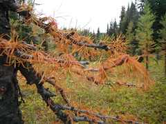 Autumn Larch (Mr. Happy Face - Peace :)) Tags: art2018 forest canadaparks hiking autumn fall cans2s broken brokeh banff alberta canada larchtree