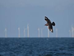 Stercorarius skua (bathyporeia) Tags: aves bird belgium belgica birds stercorariusskua northsea ©hanshillewaert