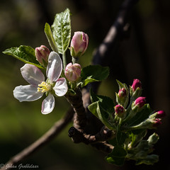 Appelbloeisels (Johan Grobbelaar) Tags: appelbloeisels