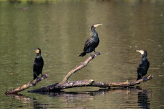 Cormorants (ctrolleneos) Tags: canon80d 100400 swanlake yateley hampshire cormorant