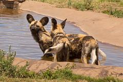 IMG_8876 (kijani_lion) Tags: lion safari park african wild dog south africa