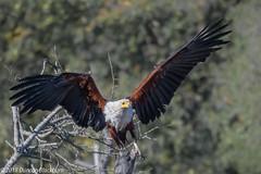 3..2..1.. Lift-off.... (Duncan Blackburn) Tags: 2018 fisheagle southafrica bird lakepanic kruger nikon nature wildlife ngc