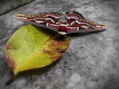 Rotschildia jacobaeae (agredam) Tags: naturaleza nature mariposas butterflies moths polillas animal insectos insects huawei matese lomasdezamora argentina urban urbano digital jardín garden