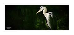 --- Observer --- (~Scimo~) Tags: animal tier vogel bird sony rx10 heron reiher wildlife zeiss natur nature scimo