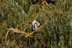 Spot The (Big) Birdie (paulinuk99999 (lback to photography at last!)) Tags: paulinuk99999 london wildlife british bushy park grey heron willow tree autumn september 2018 a73 a7iii sal70400g bird