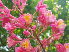 Aesculus x carnea (Iggy Y) Tags: aesculusxcarnea aesculus carnea spring blossom flower red color flowers green leaves nature park plant crvenocvjetnikesten kesten redhorsechestnut chestnut day light