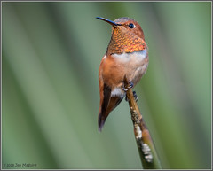 Al 9605 (maguire33@verizon.net) Tags: allens hummingbird losangelescountyarboretum bird hummer male wildlife arcadia california unitedstates us