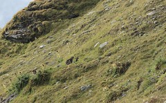 marmotte et ses deux marmottons (bulbocode909) Tags: valais suisse valdesdix marmottes marmottons montagnes nature vert rochers labarmaz