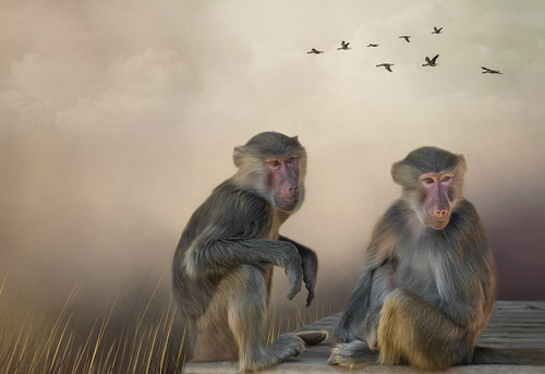 Baboon Brothers