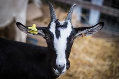 Chèvre (DavidLabasque) Tags: chèvre animal ferme farm campagne cornes regard eyes portrait face canon eos 6d 50mm france french 2018