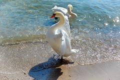 Schwan (agnesherzogscheib) Tags: schwan verteidigung lagodigarda strand weiss