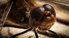 Facettenauge einer Libelle (robert.pechmann) Tags: insekt facettenauge libelle dragonfly makro macro heidelibelle robert pechmann micheldorf gartenteich libellenkopf